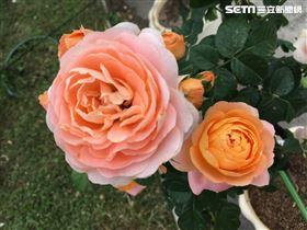 台灣旅行趣提供 玫瑰展