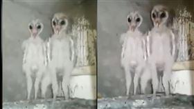 外星人,印度,瘋傳,貓頭鷹,穀倉貓頭鷹,倉鴞