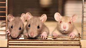 16:9 老鼠 鼠疫 黑死病 圖/翻攝自pixabay https://pixabay.com/images/id-4075129/