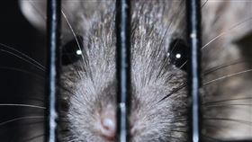 老鼠(Pixabay)