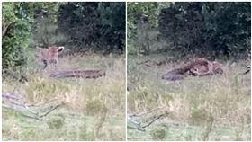 巨蟒大戰花豹!鎖喉激纏2回合 下秒逆轉咬…牠頭骨碎慘輸(圖/翻攝自YouTube)