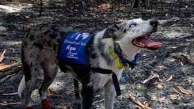 澳洲野火救難犬(圖/ifaw 臉書)
