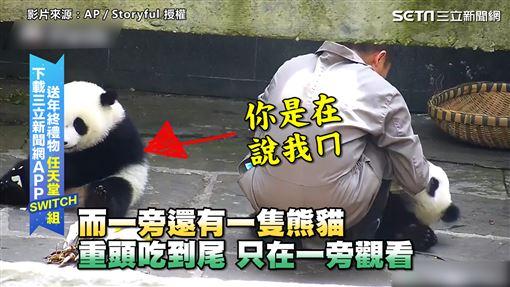 ▲一隻在旁邊的熊貓全程事不關己的模樣。(圖/AP/Storyful 授權)