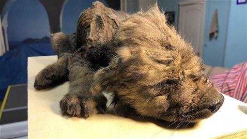 俄羅斯最近發現一隻幾乎完美保存的冰封小狗屍體,鼻、毛和牙齒都不可思議保存良好。(圖/翻攝自twitter.com/CpgSthlm)