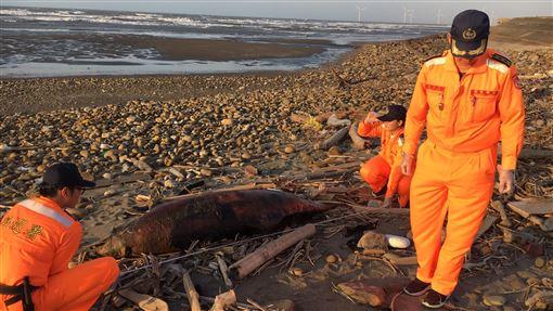 單月第3起 苗栗岸際再傳鯨豚死亡海巡署第三岸巡隊獲報,在苗栗縣外埔漁港附近沙灘發現一隻瓶鼻海豚死亡,這是今年11月發生的第3起鯨豚死亡案例。(海巡署第三岸巡隊提供)中央社記者管瑞平傳真 108年11月30日