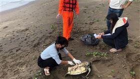 三芝海灘擱淺死亡海龜 確認為綠蠵龜(1)海巡署北部分署第8岸巡隊29日下午獲報,在三芝區新庄子沙灘發現1隻死亡海龜,30日由國立台灣海洋大學海洋生態暨保育研究所人員查驗後,確認死亡海龜為保育類動物綠蠵龜。(第8岸巡隊提供) 中央社記者葉臻傳真 108年11月30日