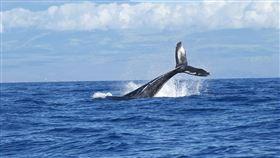 藍鯨(維基百科)