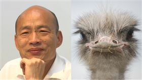 韓國瑜,鴕鳥(組合圖/資料照,翻攝自Pixabay)