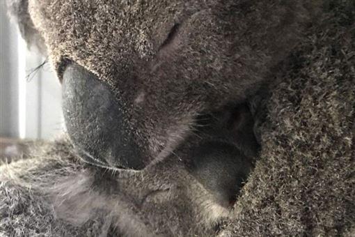 澳洲,大火,無尾熊,火災,昆士蘭