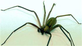 蜘蛛,棕色遁蛛(示意圖/翻攝自維基百科)