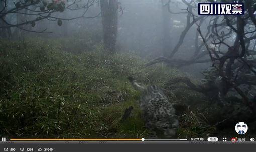 四川臥龍國家級自然保護區首度發現雪豹闖入貓熊棲息地核心區,官方6日釋出監測圖像。(圖取自四川觀察微博網頁weibo.com)