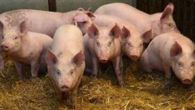 愛丁堡大學歷史悠久的羅斯林研究所發表過可望抵抗非洲豬瘟的豬隻報告,科學家改編養殖豬基因,以類似於疣豬身上能夠挺過非洲豬瘟感染的相關基因。(圖/翻攝自ed.ac.uk/roslin)