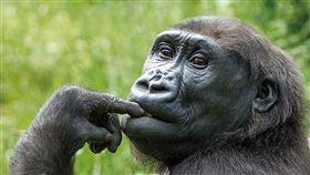 北市動物園為金剛猩猩辦婚禮(2)荷蘭中部靈長類動物園雌性金剛猩猩Irlki(圖)來台,將與台北市立動物園的雄性金剛猩猩「迪亞哥」共組家庭,8日動物園還特別舉辦婚禮。(台北市動物園提供)中央社記者梁珮綺傳真 108年12月8日