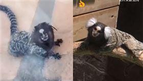 (圖/翻攝自微博)巴西,南美洲,人面猴,白耳狨猴