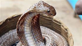 澳洲,眼鏡蛇,毒蛇,(圖/翻攝自pixabay)
