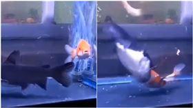 鯉魚少一尾!他看監視器揭「生吞真相」…網驚:有這麼餓嗎(圖/翻攝自爆廢公社二館)