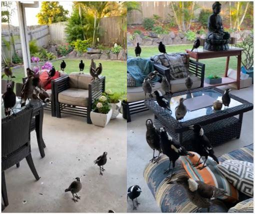 澳洲,鳥類,生化實驗,智商,批踢踢(圖/翻攝臉書)