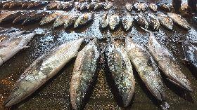 冷氣團帶來土魠魚 澎湖漁獲量多