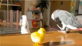 巴丹鸚鵡因電動小雞嚇到躲桌邊。(圖/翻攝自推特帳號@donchan08041)