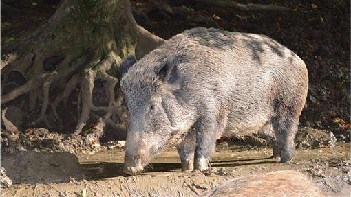 中國,農業部,野豬,非洲豬瘟病毒,感染(圖/pixabay)