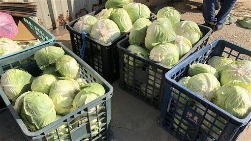 馬祖冬季特產  蔬菜3寶開始採收(2)今年第一批馬祖蔬菜三寶開始採收,率先上市的是高麗菜及白蘿蔔,再過一陣子大白菜也可採收。農民說,今年的品質很好,除部分直接上市外,也有交由相關單位統一銷售。(連江縣政府提供)中央社  108年12月12日