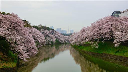 ▲皇居護城河兩側的千鳥淵綠道種滿成排櫻花(圖/shutterstock.com)