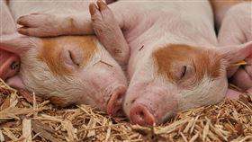 豬(示意圖/翻攝自pixabay)