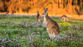澳洲,旅遊,袋鼠(圖/booking.com提供)