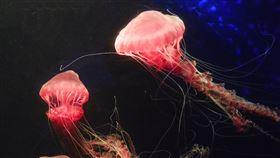 罕見黑海刺水母 海生館復育成功國立海洋生物博物館最近復育成功罕見的大型水母「黑海刺水母」,頂著粉嫩紅色的碩大泳鐘,宛如海洋中奼紫嫣紅的大紅牡丹。(海景公司提供)中央社記者郭芷瑄傳真 108年12月16日
