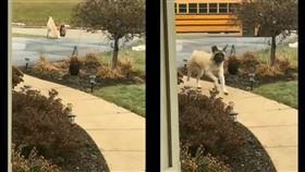 巨犬靜靜站車道上 每天溫柔守護小主人上學