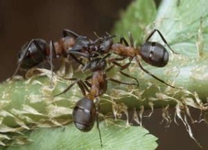 木蟻(互動百科)