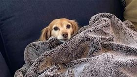 萌犬蓋毯子竟靜電炸毛 網笑:是獅子 (圖/翻攝自臉書Dogspotting Society)  https://www.facebook.com/photo.php?fbid=4644421706415&set=pcb.2925676584351204&type=3&theater&ifg=1