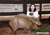 鍾瑶擔任埔心牧場「水豚君入村記者會」活動大使(圖/記者林聖凱攝影)