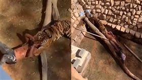 沙烏地阿拉伯日前發生一起驚悚的「虎咬人」意外,一名24歲男子阿卜杜勒穆森(Mohammed Abdul Mohsen)到利雅德動物園(Riyadh Zoo),因闖入孟加拉虎區試圖「訓練動物」,而慘遭猛虎啃咬到全身血,雖然身體多處撕裂傷,但幸運地保住性命。(圖/翻攝自jana reniedo YouTube)
