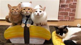 貓貓們扮裝成壽司師傅坐在玉子燒上。(圖/翻攝自kibimomo IG)