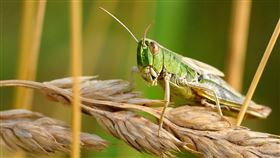 蝗蟲,圖/翻攝自Pixabay