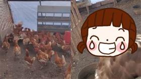 雞,老鷹,表情,美國,狩獵,農場,雞舍,陰影,圍毆,受困,獲救,寵物,動物, 圖/翻攝自YouYube