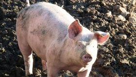 豬。(圖/翻攝自Pixabay圖庫)
