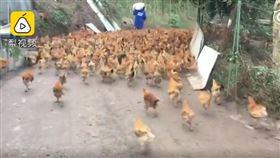 煙火太大聲?246隻放山雞「全被嚇死」…雞農崩潰求賠償(圖/翻攝自梨視頻)