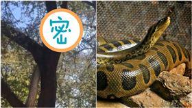 印度發現巨大蟒蛇,不停在樹上爬行。(圖/翻攝自推特)
