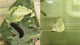菜蟲認真養大變這樣 大驚「太勵志了吧!」(圖/翻攝自Dcard)