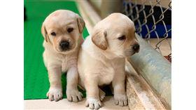 近期有4到5胎的拉不拉多緝毒犬幼犬誕生,海關對外徵求寄養家庭。(緝毒犬培訓中心提供)中央社記者吳佳蓉傳真 109年1月5日