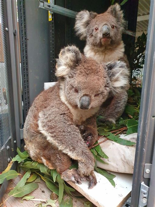 澳洲野火肆虐,擴散至袋鼠島保護區,救難單位5日表示,島上無尾熊恐怕有半數死亡,還有許多重傷。(圖/facebook.com/kiwildlifepark)