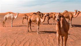 (圖/Pexels)駱駝