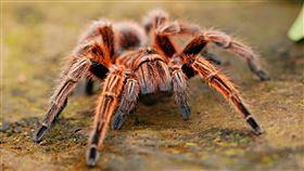 蜘蛛(圖/Pixabay)