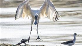 黑面琵鷺被 捕獸鋏 鳥友 汪承禎攝影