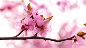 庚子年雙春兼閏月!命理大師鐵口直斷桃花運最強(圖/pixabay)