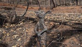 袋鼠,澳洲,火災,大火,野火,動物,圍欄,柵欄,保護,鐵絲網,保育,逃脫,困住,狩獵, 圖/翻攝自IG https://parg.co/z4K