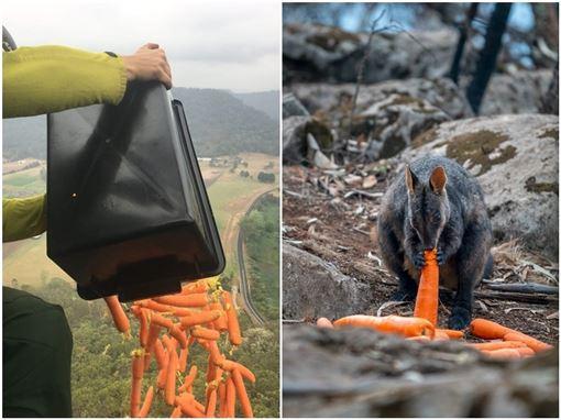 澳洲致命野火季節仍未結束,新南威爾斯州上週利用直升機,空投數千磅的番薯和紅蘿蔔以餵食像是岩袋鼠的瀕臨滅絕動物。(圖取自twitter.com/Matt_KeanMP)