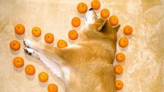 狗狗面積該怎麼算?柴柴躺地熟睡 飼主偷用「橘子」整圈量